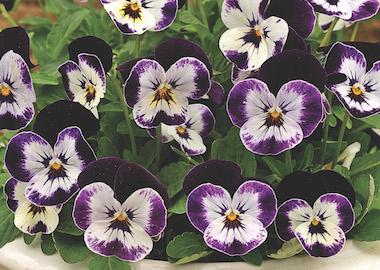 Viola Penny Mickey Earley Ornamentals