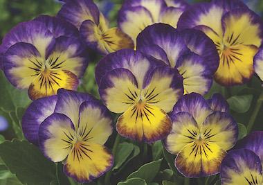 Viola Penny Primrose Purple Picotee Earley Ornamentals