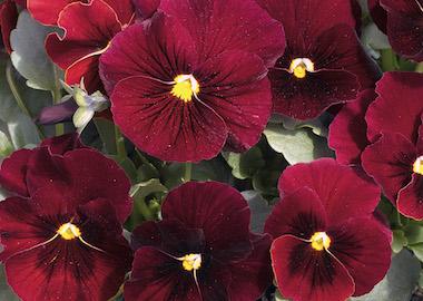Viola Penny Red Blotch Earley Ornamentals