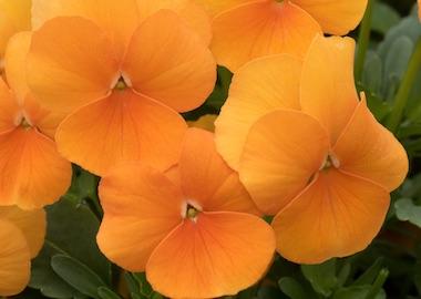 Viola Perfetto Deep Orange Earley Ornamentals