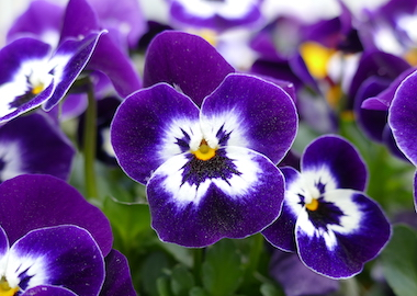 Viola Perfetto Purple Face Earley Ornamentals