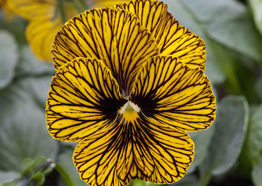 Viola Tiger Eye Earley Ornamentals