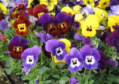 Viola Vibrante Blotched Mix Earley Ornamentals