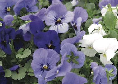 Viola Vibrante Cool Blues Mix Earley Ornamentals