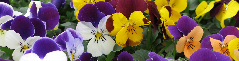 Viola Vibrante Jump Up Mixed Earley Ornamentals