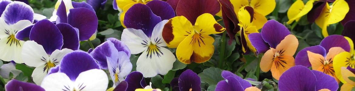 Viola Vibrante Jump Up Mix Earley Ornamentals