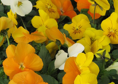 Viola Vibrante Lemoncello Mix Earley Ornamentals