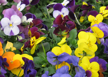 Viola Vibrante Mix Earley Ornamentals