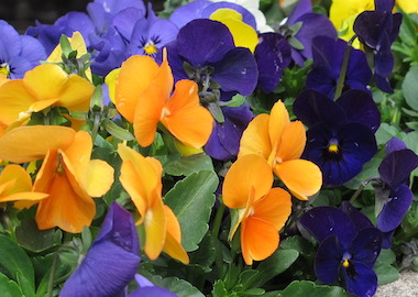 Viola Vibrante Spring Mix Earley Ornamentals