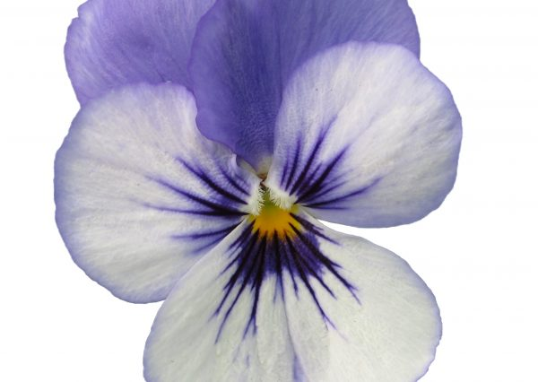 Viola Vibrante YTT head Earley Ornamentals