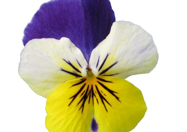 Viola Vibrante Yellow Jump Up head Earley Ornamentals