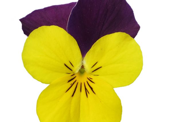 Viola Vibrante Yellow Purple Wing head Earley Ornamentals