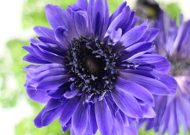 Anemone Harmony Double Blue Earley Ornamentals