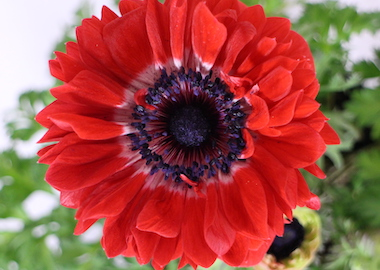 Anemone Harmony Double Scarlet Earley Ornamentals