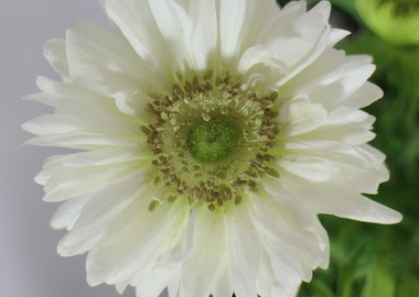 Anemone Harmony Double White Earley Ornentals