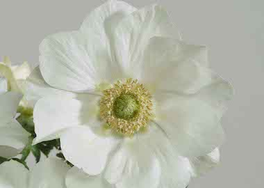 Anemone Harmony White Earley Ornamentals