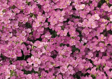 Arabis Little Treasure Deep Rose Earley Ornamentals