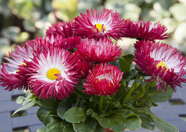 Bellis BamBam Red Earley Ornamentals