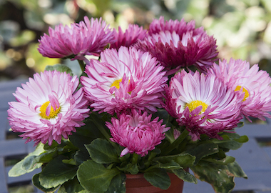 Bellis BamBam Rose Earley Ornamentals