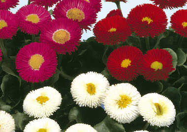 Bellis Galaxy Mix Earley Ornamentals