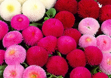 Bellis Tasso Mix Earley Ornamentals