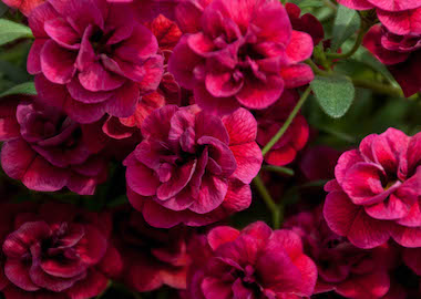 Calibrachoa Caloha Double Dark Red Earley ornamentals