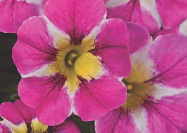 Calibrachoa Candy Shop Candy Crush Earley Ornamentals