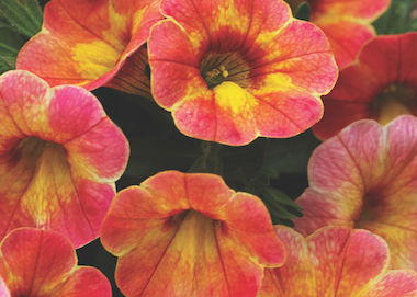 Calibrachoa Chameleon Atomic Orange Earley Ornamentals