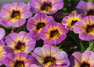 Calibrachoa Chameleon Blueberry Scone Earley Ornamentals
