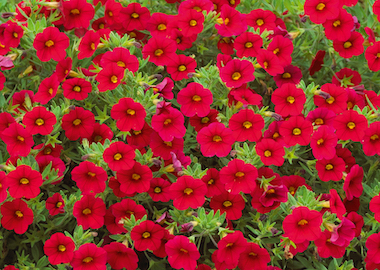 Calibrachoa Million Bells Earley Ornamentals