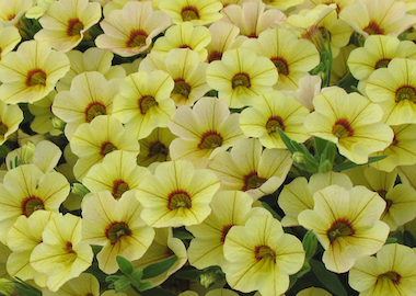 Calibrachoa Million Bells Bouquet YellowEye Earley ornamentals