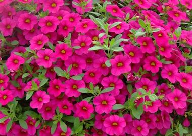 Calibrachoa Million Bells Brilliant Pink Earley Ornamentals