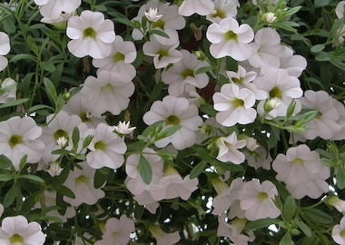 Calibrachoa Million Bells Trailing Ice Earley Ornamentals