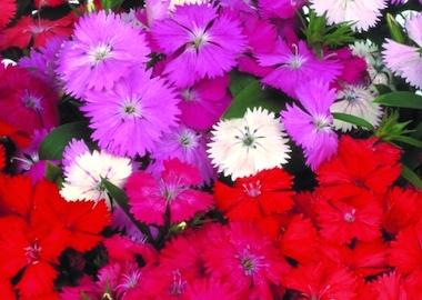Dianthus Diamond Mix Earley Ornamentals