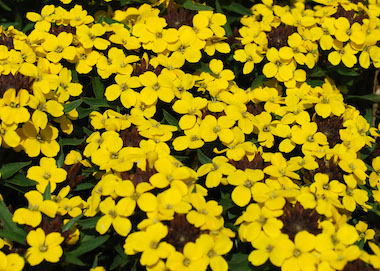 Erysimum Goldcup Earley Ornamentals