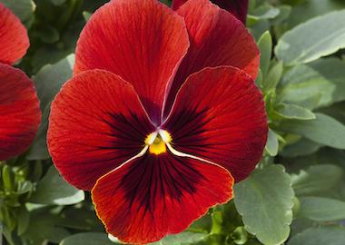Pansy Freefall XL Scarlet Blotch Earley Ornamentals