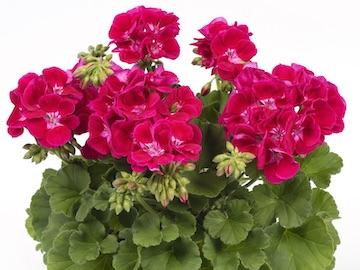 Gerainium Flower Fairy Red Splash Earley Ornamentals
