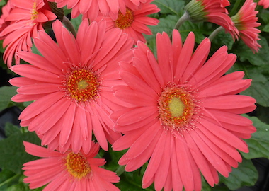 Gerbera Garvinea Sweet Sixteen Earley Ornamentals