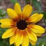 Helianthus Sunbelievable™ Brown Eyed Girl Earley Ornamental