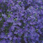 Lobelia Star Deep Blue Earley Ornamentals