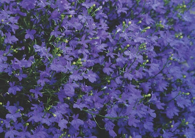 Lobelia Star Deep Blue Earley Ornamentals