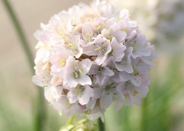 Perennials Armeria maritima Morning Star White Earley Ornamentals