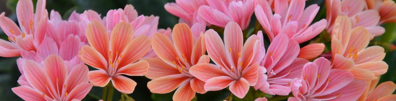 Perennials Lewisia Constant Coral Earley Ornamentals