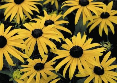 Perennials Rudbeckia fulgida Goldsturm Earley Ornamentals