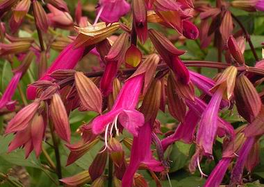 Perennials Salvia Wendy's Wish Earley Ornamentals
