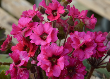Primula Ooh La La Blood Ornage Earley Ornamentals