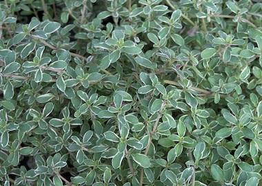 Thyme Silver Posie Earley Ornamentals