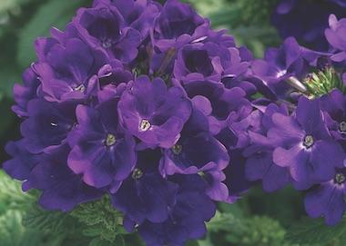 Verbena Tuscany Blue Earley Ornamentals