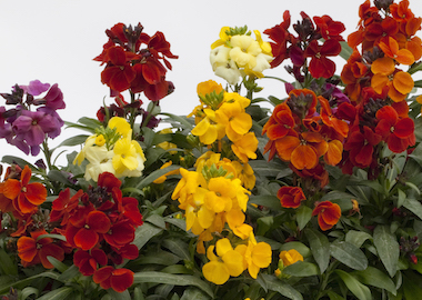 Wallflower SugarRush Mixed Earley Ornamentals