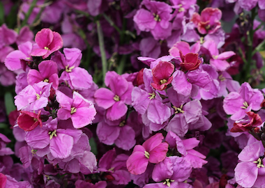 Wallflower SugarRush Purple Earley Ornamentals